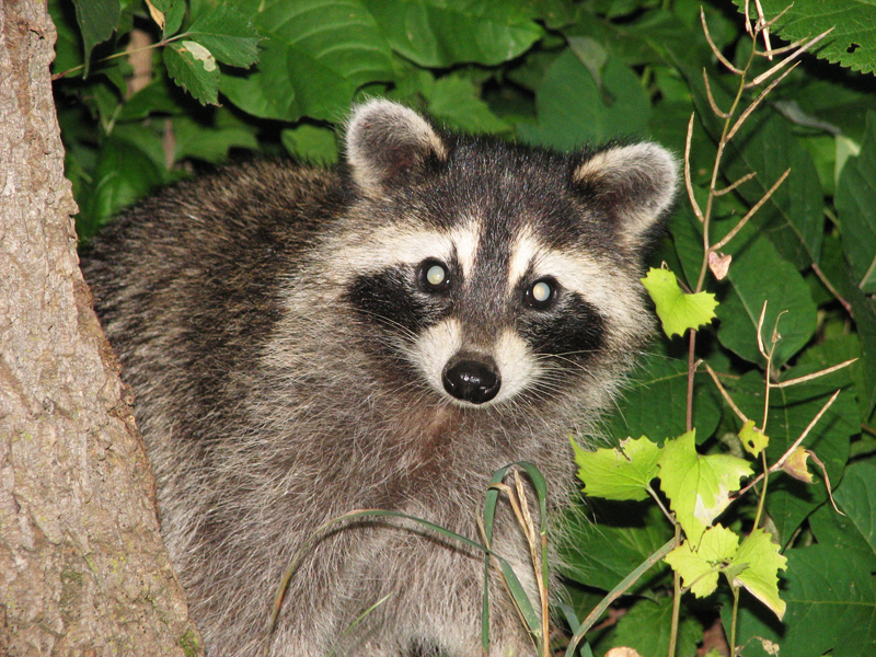 This is what happens when you photograph a raccoon with a flash