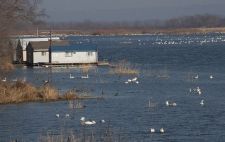 Tundra swans; south of Brownsville, MN